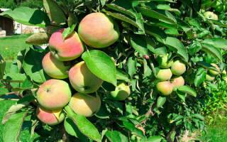 Сорт яблок президент фото и описание
