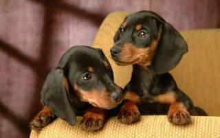 Клички собак породы такса