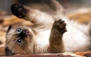 Имя для сиамского кота мальчика