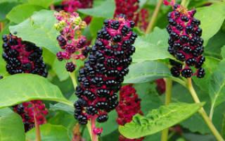Лаконос что это за растение фото – цветок фитолакка