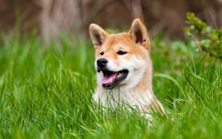 Сиба ину описание породы фото – ибн сина собака