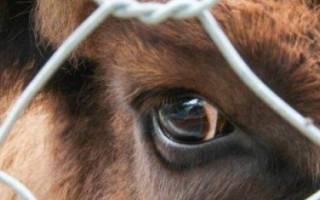 Лептоспироз у коров симптомы и лечение