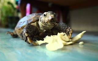 Как правильно кормить красноухих черепах?