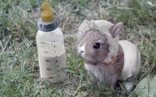 Можно ли давать кроликам молоко?