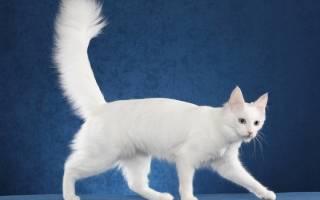 Турецкая ангора кошка фото цена