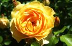 Роза грехам томас фото и описание отзывы – graham thomas