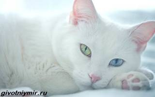 Као мани алмазный глаз, khao manee