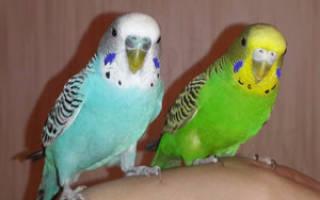 Пение волнистых попугаев в брачный период – поющие попугаи