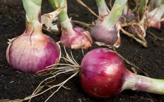 После каких овощей можно сажать лук?