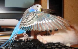 Попугай перестал летать и падает