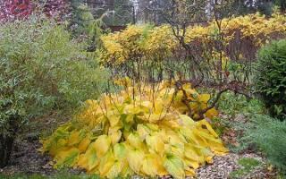 Нужно ли срезать листья хосты на зиму?