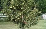 Карликовая груша посадка и уход