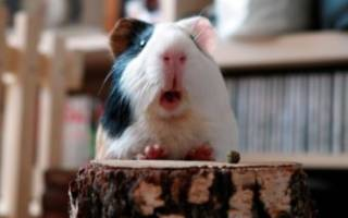 Звуки морских свинок и что они означают