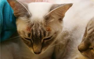 Лечение экземы у кошек в домашних условиях