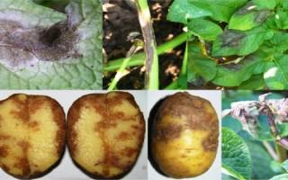 Фитофтора картофеля фото описание и лечение