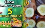 Заготовка семян огурцов в домашних условиях: огурец на семена