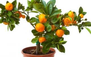 Земля для цитрусовых в домашних условиях, грунт для мандарина
