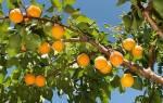 Лучшие сорта абрикоса для Подмосковья самоплодные