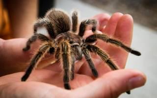 Как содержать паука в домашних условиях – беловолосковый птицеед