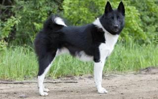 Русско европейская лайка фото описание породы, собаки рел