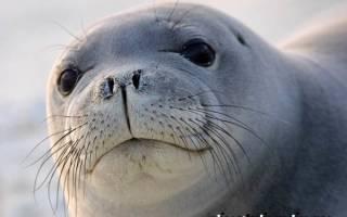 Чем питаются тюлени в арктике?