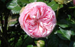Пьер де ронсар роза фото и описание