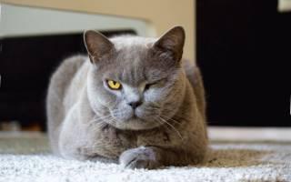 Как выглядит лишай у кошки на ухе?