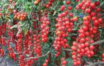Помидоры черри описание сорта фото отзывы – cherry tomato