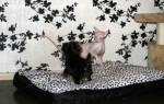 Йоркширский терьер и кошка в доме: йорк и кот в одной квартире