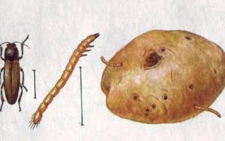 Проволочник это личинка жука щелкуна