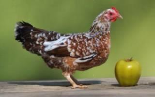 Маленькая курица как называется
