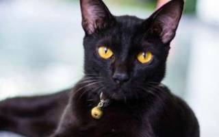 Тайская кошка характер отзывы достоинства