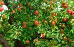 Яблоня цветет но не плодоносит, что делать?