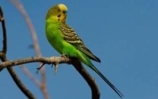 Какие ветки можно давать попугаям волнистым: почему попугаи грызут дерево?