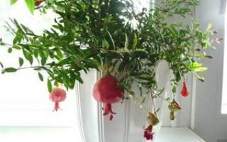 Гранат из косточки в домашних условиях выращивание