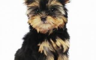 Как правильно выбрать щенка йорка?