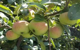 Яблоня подарок садоводам описание фото отзывы