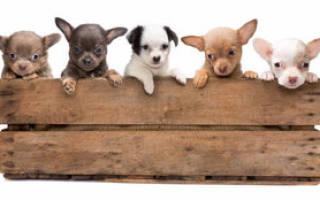 Инбридинг у собак, что это: как называется близкородственное скрещивание?