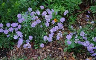 Цветы скабиоза посадка и уход фото