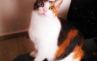 Порода кошек с разными глазами как называется