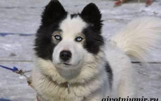 Якутская лайка фото собаки
