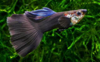 Сколько живут гуппи в аквариуме в домашних: гупики рыбы уход