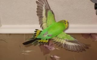 Почему попугай не летает а падает?