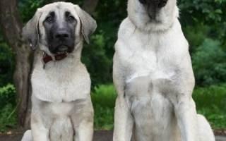 Турецкий кангал фото собаки, анатолийский карабаш