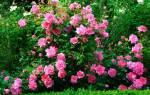 Как привить розу к шиповнику?