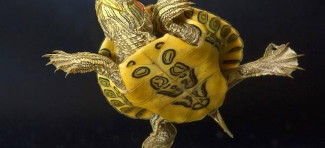 Красноухая черепаха уход в домашних условиях аквариум