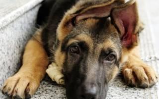 Как правильно воспитывать щенка немецкой овчарки