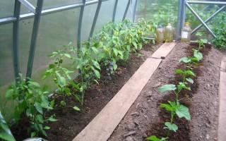 Как правильно садить огурцы в теплице?