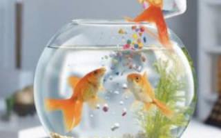 Уход за золотой рыбкой в аквариуме