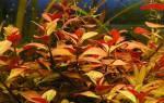 Людвигия аквариумное растение содержание и уход, ludwigia repens